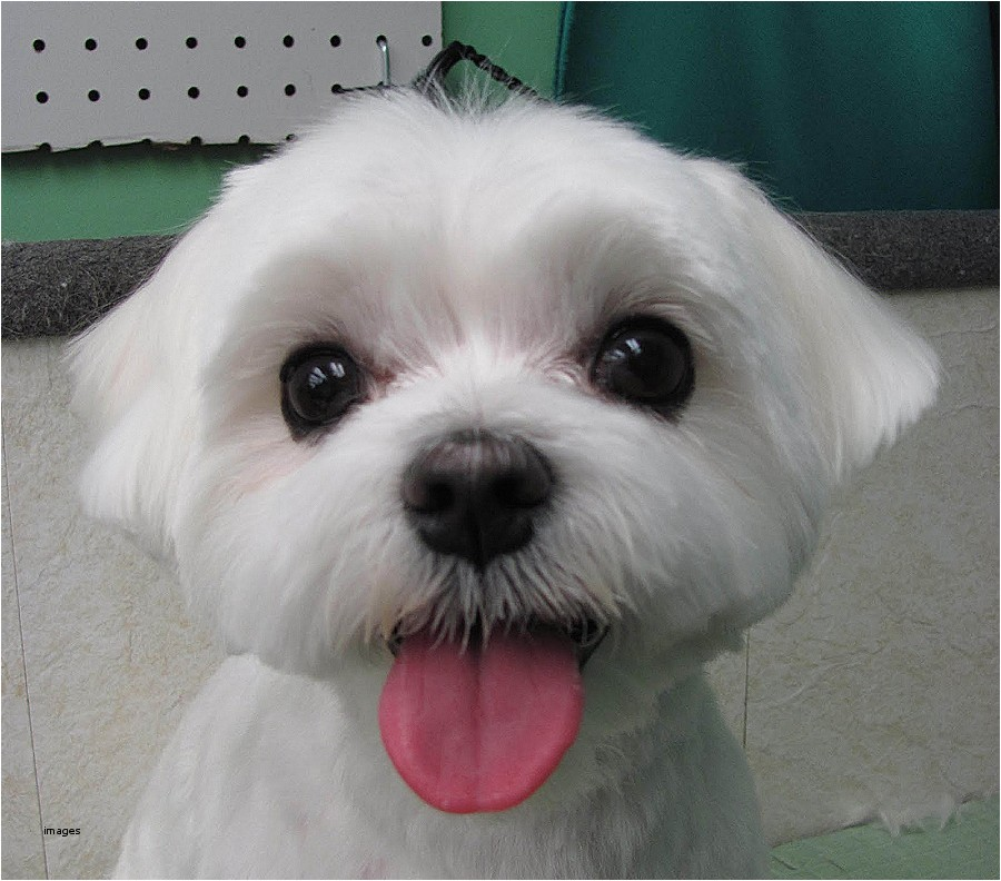 maltese haircut styles pictures