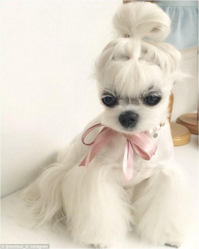 Adorable maltese pup models cute clothes accessories
