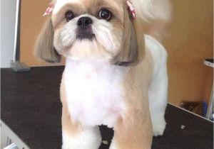 Cute Girls Hairstyles Dog Shih Tzu Affectionate and Playful Shih Tzu Pinterest